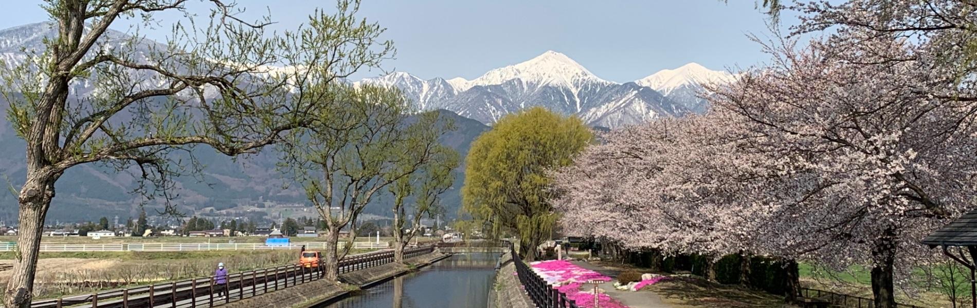 常念岳と桜